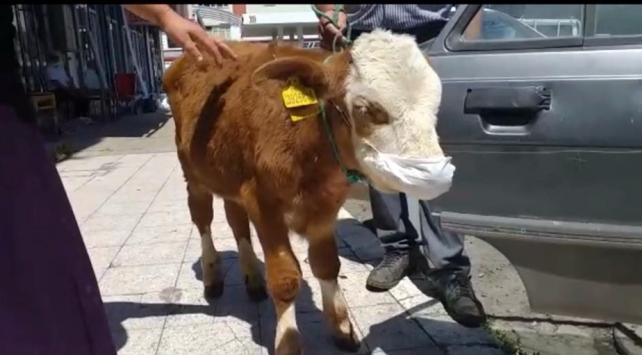 Rahatsızlanan buzağıyı maske takıp veterinere götürdüler
